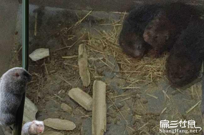 石城竹鼠养殖