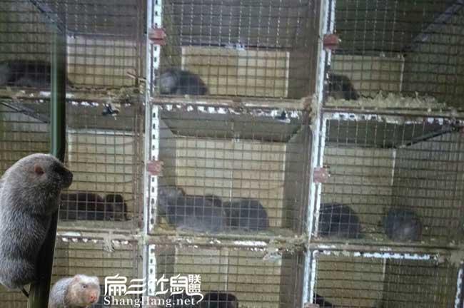考察竹鼠养殖市场