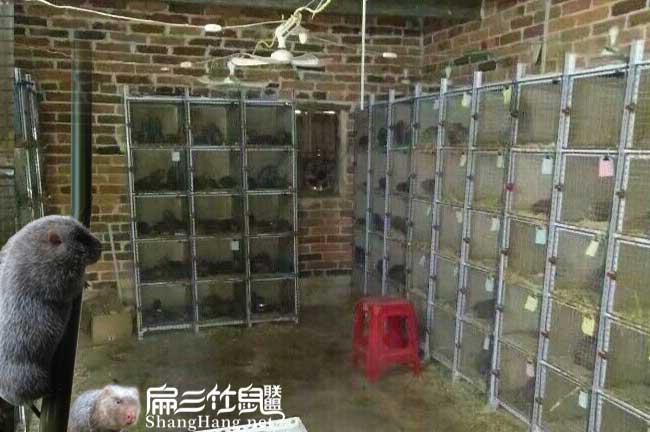 考察竹鼠养殖方式