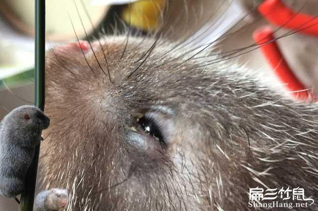 竹鼠常见眼垢