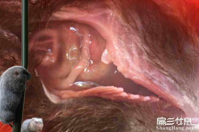 竹鼠肠炎解剖图