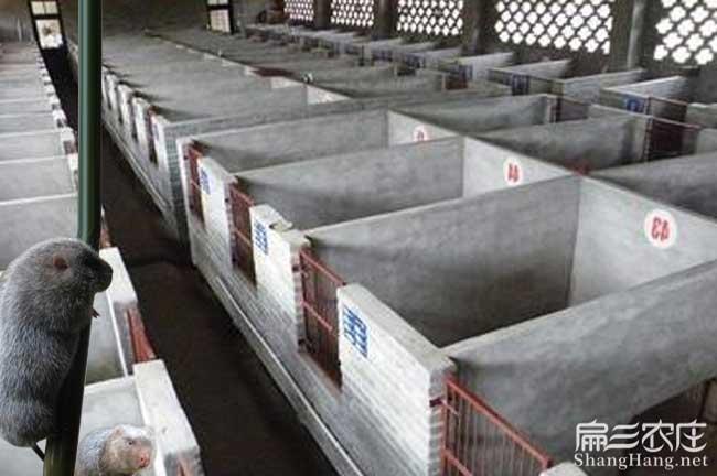 连江豪猪养殖