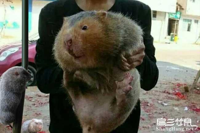 最大中的红颊竹鼠