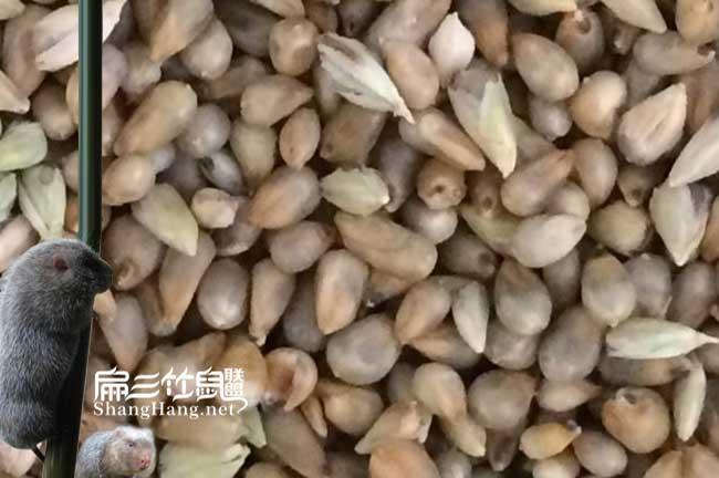 浙江皇竹草种子