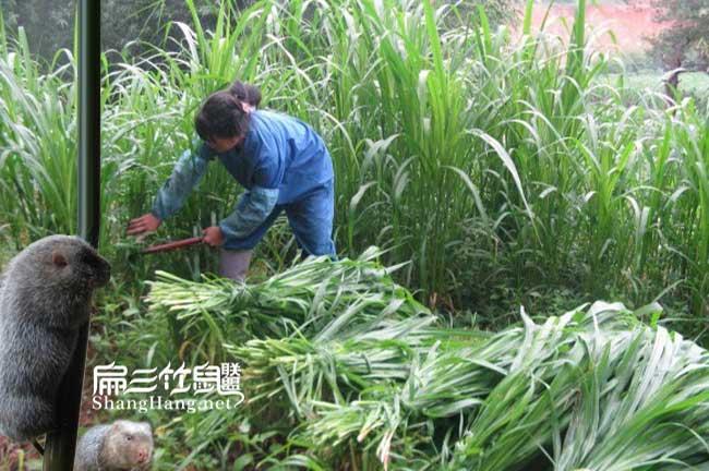 贵州皇竹草种植