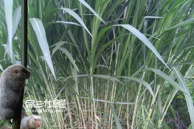 皇竹草多久可以收割