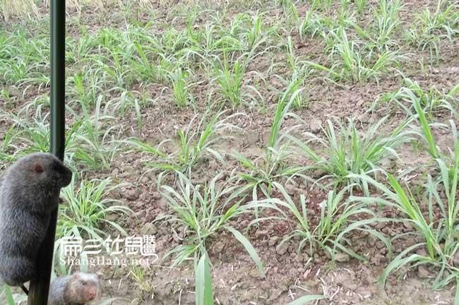 皇竹草气候