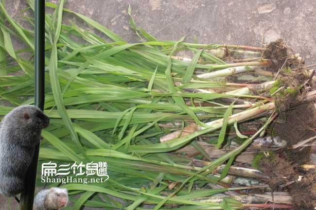 新型皇竹草