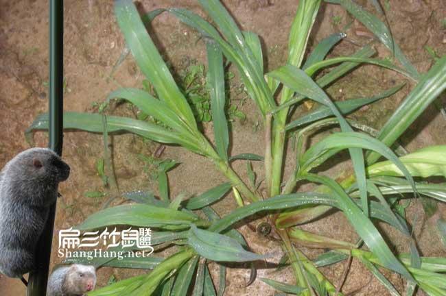 皇竹草种植时间
