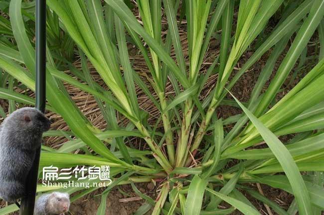 皇竹草种植条件