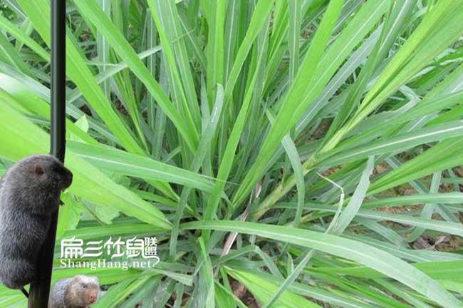 广西皇竹草