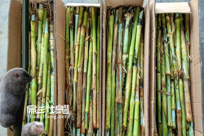 竹鼠皇竹草种节