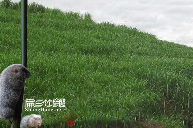 深圳皇竹草