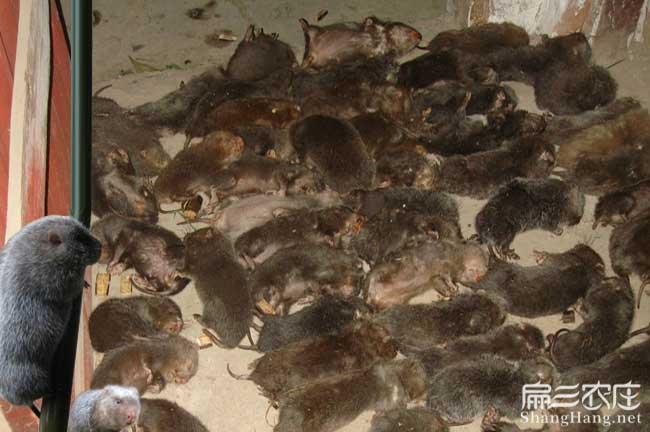 竹鼠无辜死了