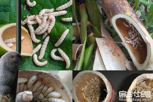 湖南竹虫养殖技术