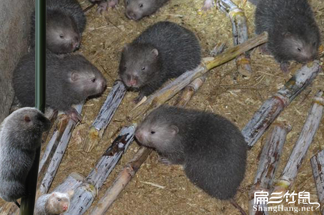 唐山竹鼠种苗