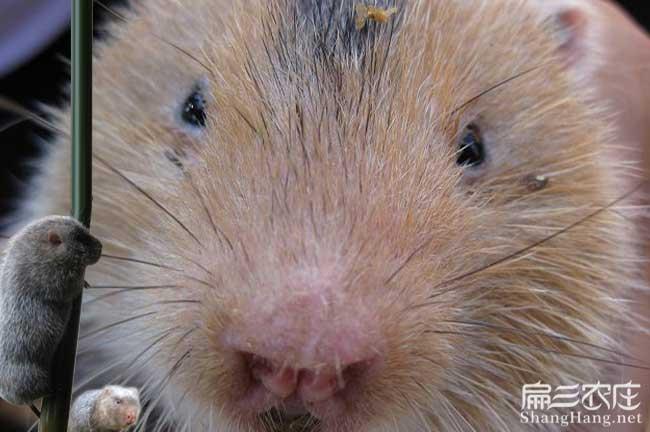 红颊竹鼠养殖方式