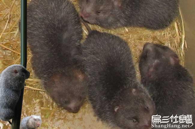 温州竹鼠养殖