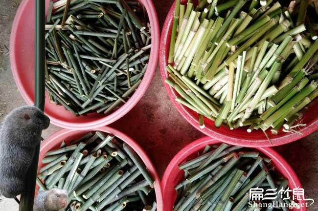 宁德竹鼠养殖技术食物