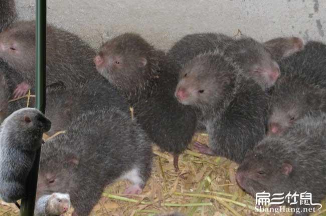 中华竹鼠品种分类