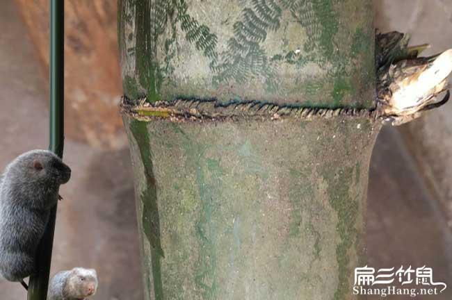 馆陶竹鼠养殖
