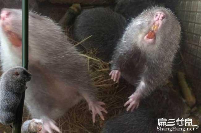 邯郸竹鼠养殖