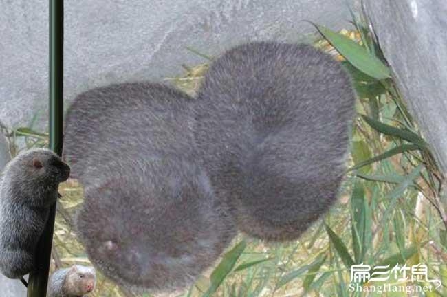 银星竹鼠品种