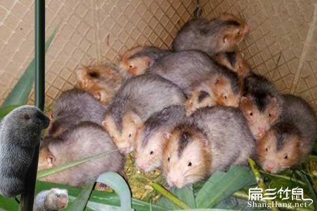 定州兔子养殖