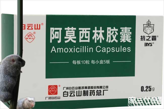 竹鼠吃阿莫西林