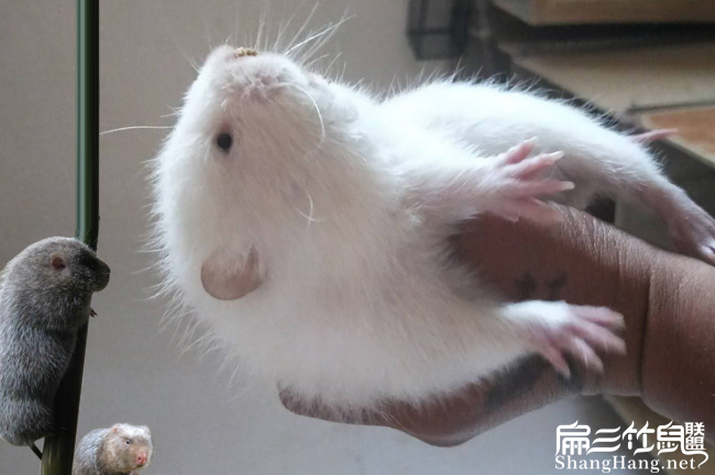广东白毛竹鼠价格