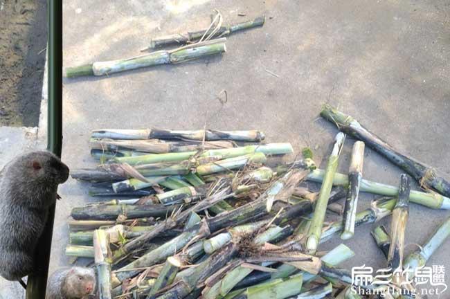 皇竹草种植技术