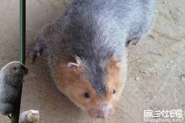 广西红颊竹鼠种苗