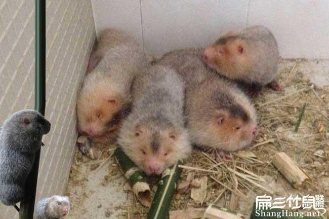 选择红颊竹鼠品种