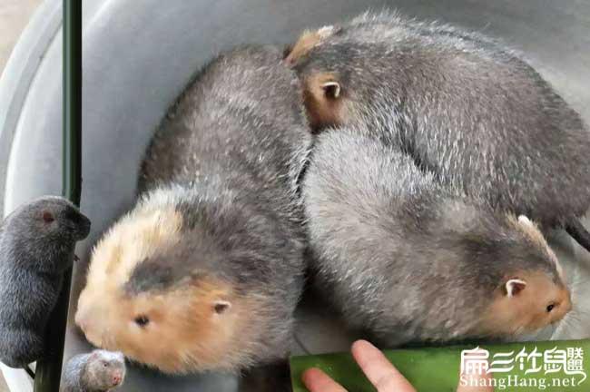 惠州红颊竹鼠养殖