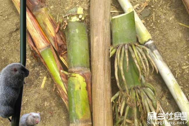 惠州竹鼠养殖