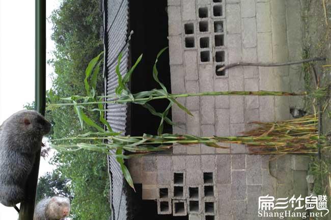 惠州竹鼠养殖基地