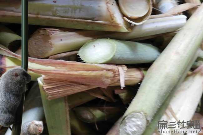 北京竹鼠食物