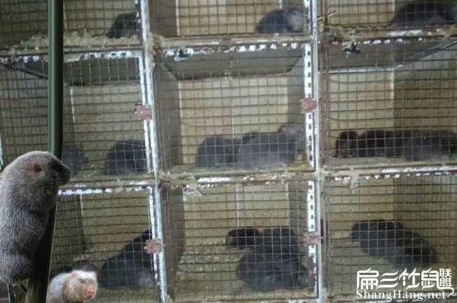顺德竹鼠养殖基地