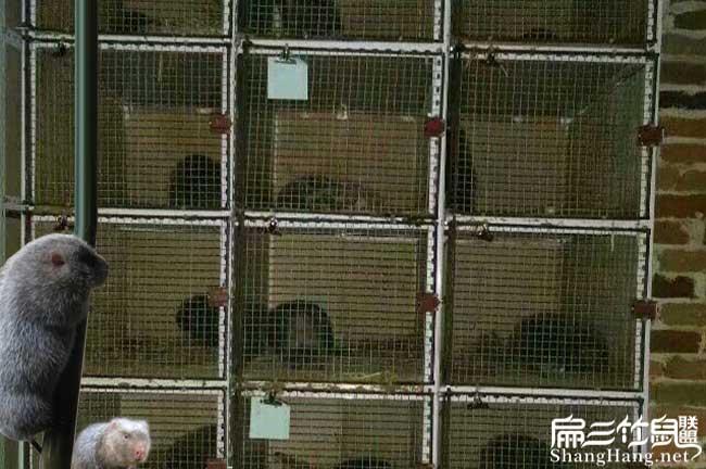 立体竹鼠养殖技术