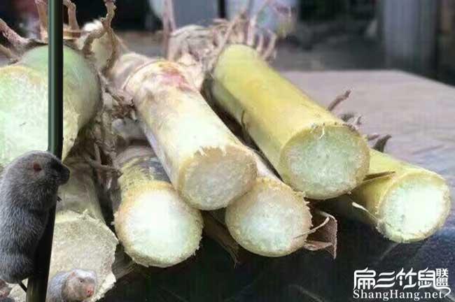 竹鼠吃甘蔗
