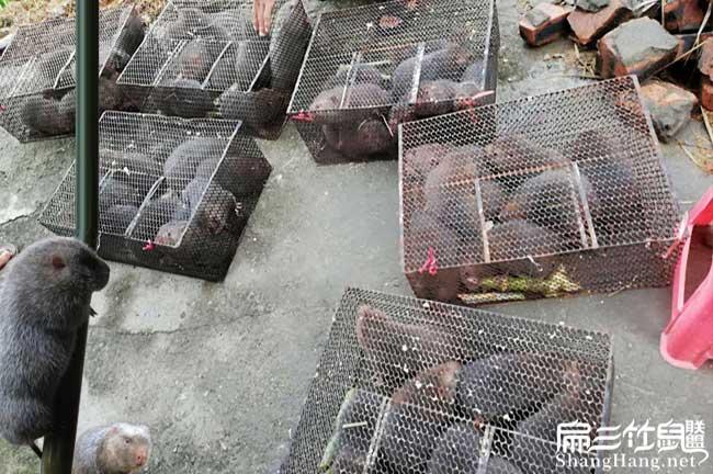 关注竹鼠养殖