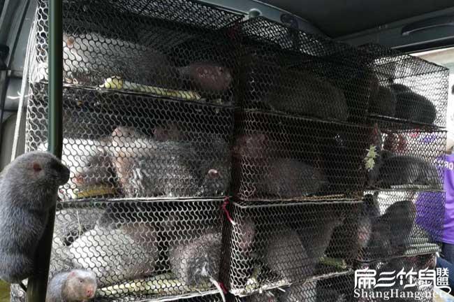 商品竹鼠运输
