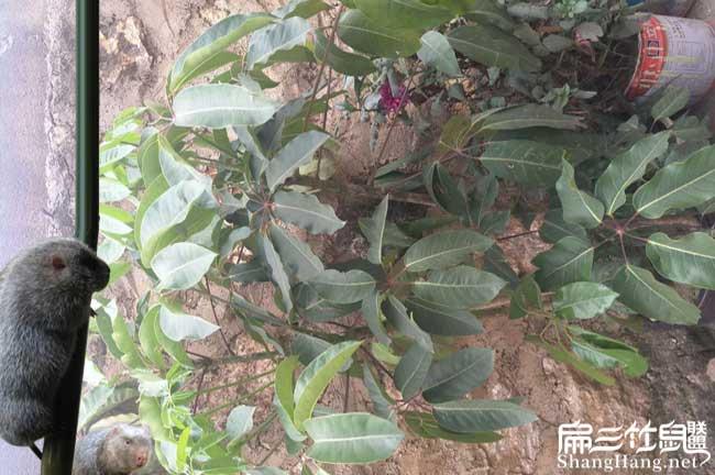 莆田鸭脚木