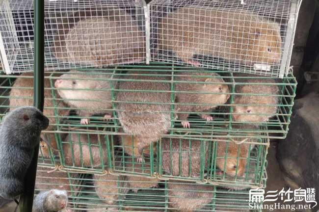 竹鼠养殖利润