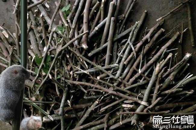 竹鼠养殖中药