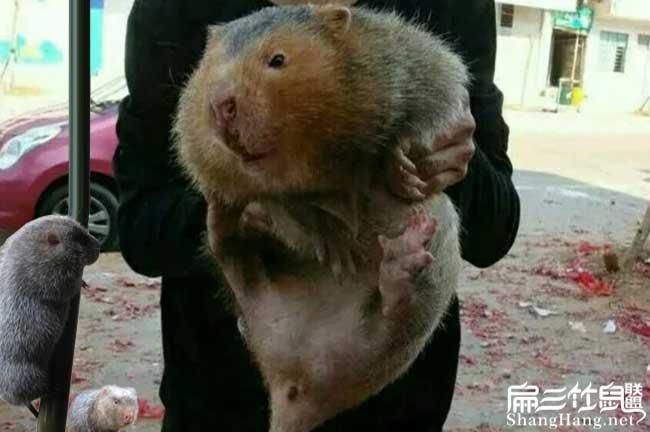 最大的红颊竹鼠