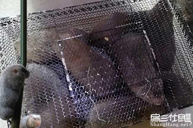 东北竹鼠养殖