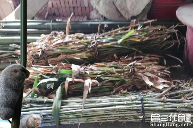 乌海竹鼠养殖