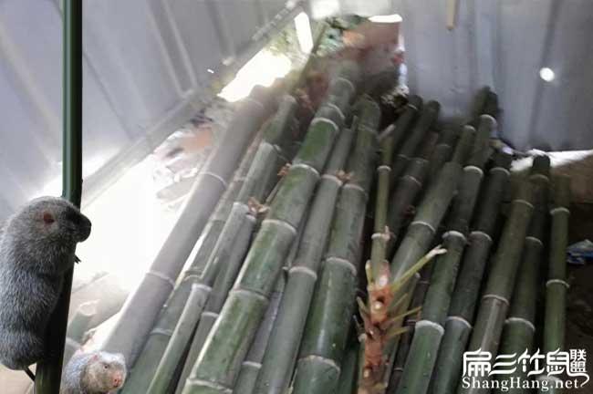 江门竹鼠养殖竹子