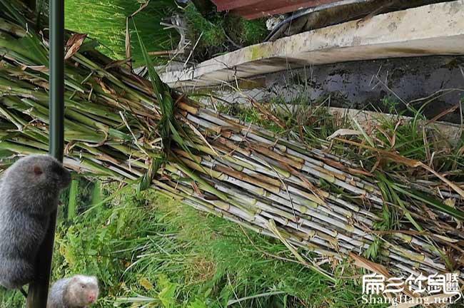 皇竹草种植